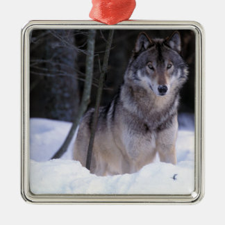 North America, Canada, Eastern Canada, Grey wolf Christmas Ornament