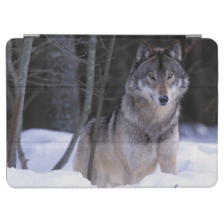 North America, Canada, Eastern Canada, Grey wolf iPad Air Cover