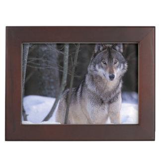 North America, Canada, Eastern Canada, Grey wolf Keepsake Box