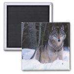 North America, Canada, Eastern Canada, Grey wolf Refrigerator Magnet