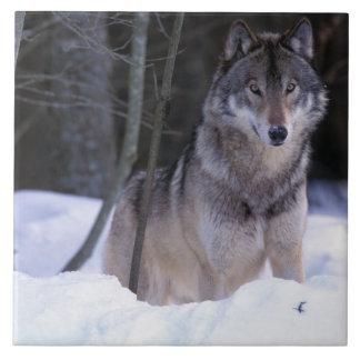 North America, Canada, Eastern Canada, Grey wolf Tile