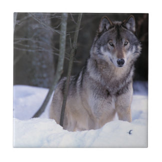 North America, Canada, Eastern Canada, Grey wolf Tile