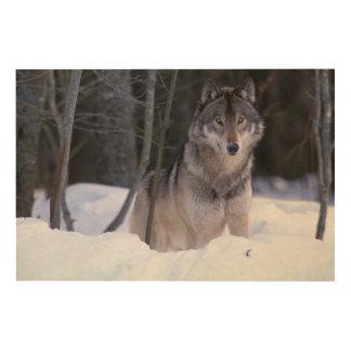 North America, Canada, Eastern Canada, Grey wolf Wood Wall Art
