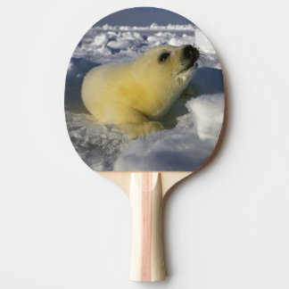 North America, Canada, Gulf of St. Lawrence. 3 Ping Pong Paddle