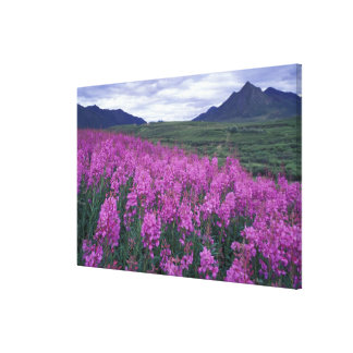 North America, Canada, Yukon. Fireweed blooms Stretched Canvas Prints
