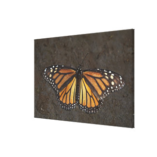 North America, Mexico, Angangueo. An exhausted Gallery Wrap Canvas