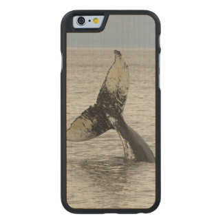 North America, USA, AK, Inside Passage. Humpback Carved Maple iPhone 6 Case