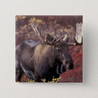 North America, USA, Alaska, Denali NP. Alces 15 Cm Square Badge