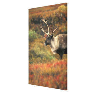 North America, USA, Alaska, Denali NP, Tundra. Canvas Print