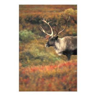 North America, USA, Alaska, Denali NP, Tundra. Photo Print