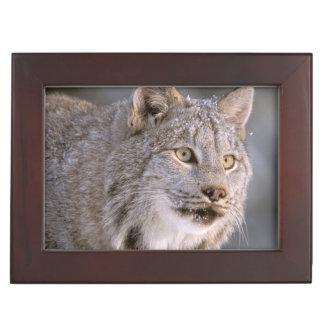 North America, USA, Alaska, Haines. Lynx (Felis 2 Keepsake Box