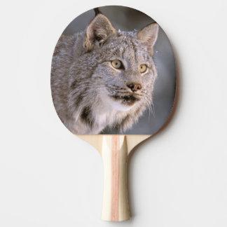 North America, USA, Alaska, Haines. Lynx (Felis 2 Ping Pong Paddle
