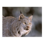 North America, USA, Alaska, Haines. Lynx (Felis 2 Post Cards