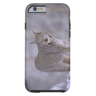 North America, USA, Alaska, Haines. Lynx (Felis Tough iPhone 6 Case