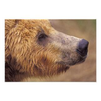North America, USA, Alaska, Katmai NP. Brown Photo Print