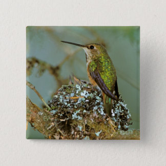 North America, USA, Alaska. Rufous Humming bird 15 Cm Square Badge