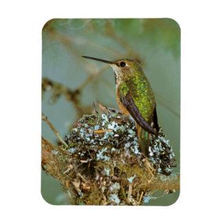 North America, USA, Alaska. Rufous Humming bird Magnet