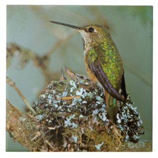 North America, USA, Alaska. Rufous Humming bird Tile
