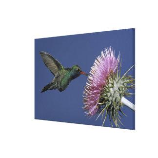 North America, USA, Arizona. Broad-billed Gallery Wrap Canvas