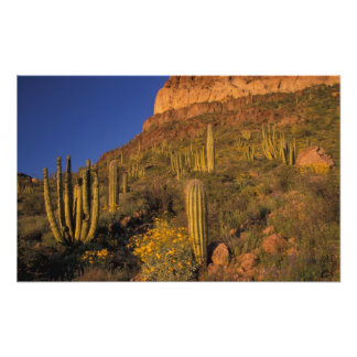 North America, USA, Arizona, Organ Pipe Cactus 2 Photograph