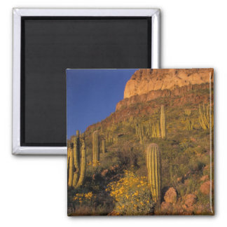 North America, USA, Arizona, Organ Pipe Cactus 2 Square Magnet