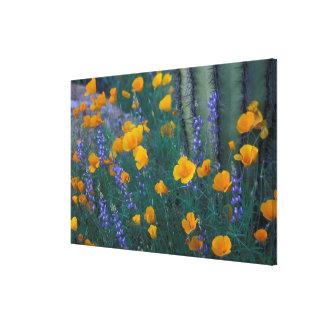 North America, USA, Arizona, Organ Pipe Cactus Canvas Print