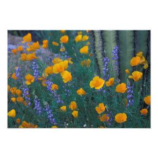North America, USA, Arizona, Organ Pipe Cactus Photo Print