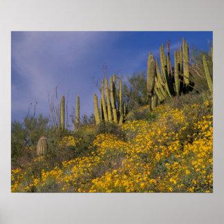 North America, USA, Arizona, Organ Pipe Cactus Poster
