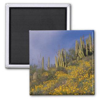 North America, USA, Arizona, Organ Pipe Cactus Square Magnet
