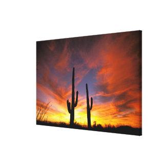 North America, USA, Arizona, Sonoran Desert. Stretched Canvas Prints