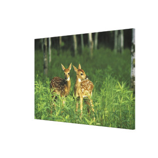North America, USA, Minnesota. White-tailed 2 Stretched Canvas Print