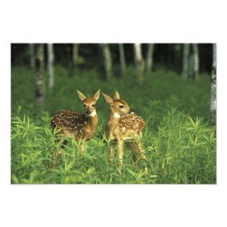 North America, USA, Minnesota. White-tailed 2 Photo Print