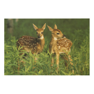 North America, USA, Minnesota. White-tailed 2 Wood Wall Art