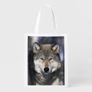 North America, USA, Minnesota. Wolf Canis