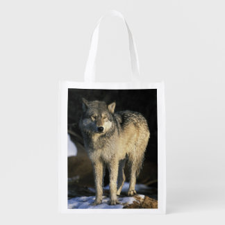 North America, USA, Minnesota. Wolf (Canis