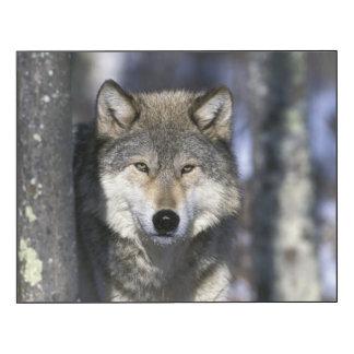 North America, USA, Minnesota. Wolf Canis 2