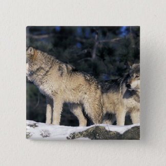 North America, USA, Minnesota. Wolf Canis 2 15 Cm Square Badge