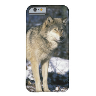 North America, USA, Minnesota. Wolf (Canis 2 Barely There iPhone 6 Case