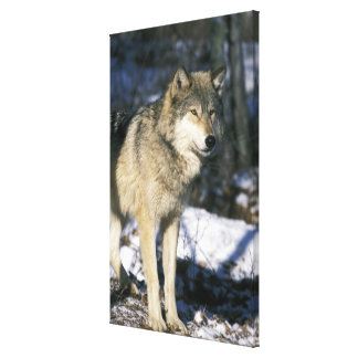 North America, USA, Minnesota. Wolf (Canis 2 Canvas Print