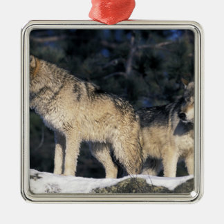 North America, USA, Minnesota. Wolf Canis 2 Christmas Ornament
