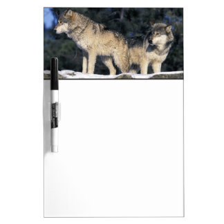 North America, USA, Minnesota. Wolf Canis 2 Dry Erase Board