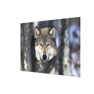 North America, USA, Minnesota. Wolf Canis 2 Gallery Wrapped Canvas