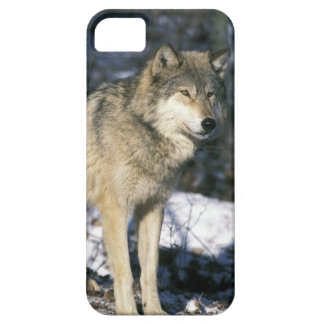 North America, USA, Minnesota. Wolf (Canis 2 iPhone 5 Covers