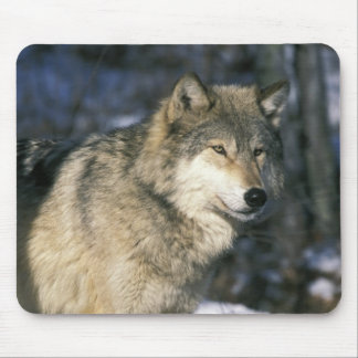 North America, USA, Minnesota. Wolf (Canis 2 Mouse Mat