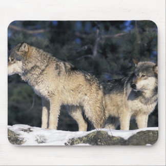 North America, USA, Minnesota. Wolf Canis 2 Mouse Mat