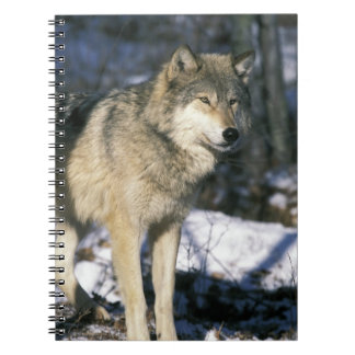 North America, USA, Minnesota. Wolf (Canis 2 Notebook