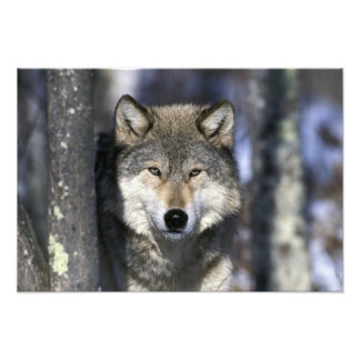 North America, USA, Minnesota. Wolf Canis 2 Photo Print
