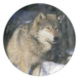 North America, USA, Minnesota. Wolf (Canis 2 Plate