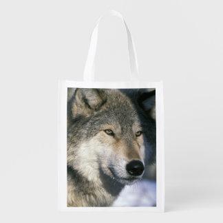 North America, USA, Minnesota. Wolf Canis 3
