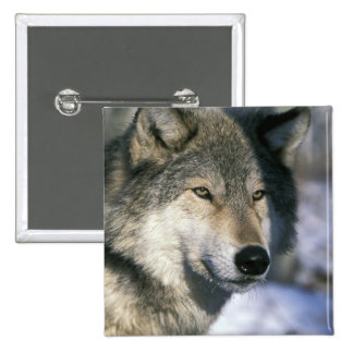 North America, USA, Minnesota. Wolf Canis 3 Buttons